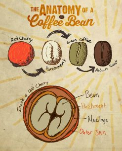 Anatomy-Of-A-Coffee-Bean