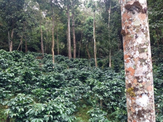 Coffee in natural forest 1